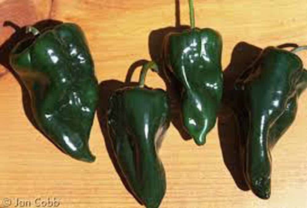 Heirloom Poblano Ancho Pepper Seeds Organically Grown