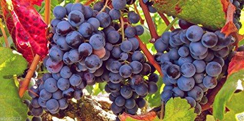 Grape Vine Seeds(Vitis vinifera) Enjoy the sweet juicy taste of homegrown grapes(10 Seeds)