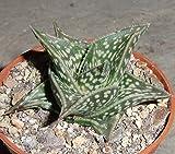 10 Seeds GASTERIA Bicolor Exotic Rare Miniature Succulent ECC