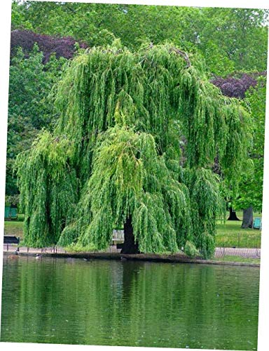 DYE 1 Potted Weeping Willow Tree - Salix babylonica - 10 to 15+ inches - RK226