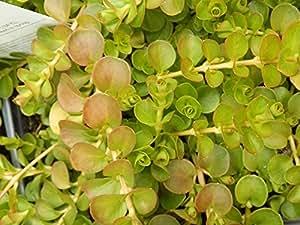 """Creeping Jenny"" Lysimachia Groundcover Plant"