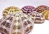 "Alfonso Sea Urchins | 6 Large Alphonse Urchin Shells 2 1/2""-3"" | Nautical Crush Trading TM"