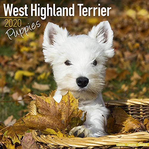 West Highland Terrier Puppies Calendar 2020 - Dog Breed Calendar - Wall Calendar 2019-2020