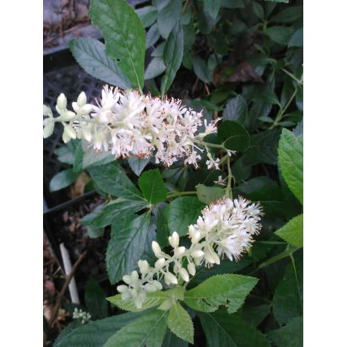 (1 Gallon) '16 Candles' Clethra-Candle Like, Fragrant, Great for Wet and Shady Places, hot sale