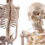 Anatomical Human Skeleton Model, 1/2 Life Size, 85cm