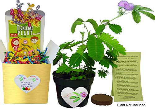 NEW! Birthday TickleMe Plant Gift Box Set - Great Unique Gift to Grow this Fun House Plant That Closes Its Leaves When You Tickle It or Blow It a Kiss! It even flowers! Perfect for nature lovers! (Unique Gift Sets)
