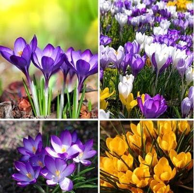 Amazon Com Promotion Saffron Seeds Saffron Flower Seeds