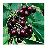 Black Cherry Fruit Tree Seeds - 35+ Premium Quality Tree Seeds - 85% Germination (Isla's Garden Seeds) Highest Quality Seeds.