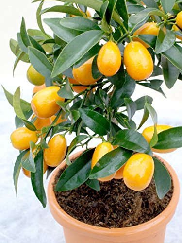 potted lime tree - 4