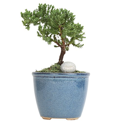 Costa Farms Mini Bonsai Ficus Juniper Live Indoor Tree with Inspirational Message in Blue Home Décor-Ready Ceramic Planter, Great - Bonsai Blue