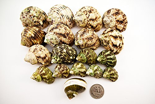 Assorted Hermit Crab (18 Assorted Turbo Hermit Crab Shells Lot 1