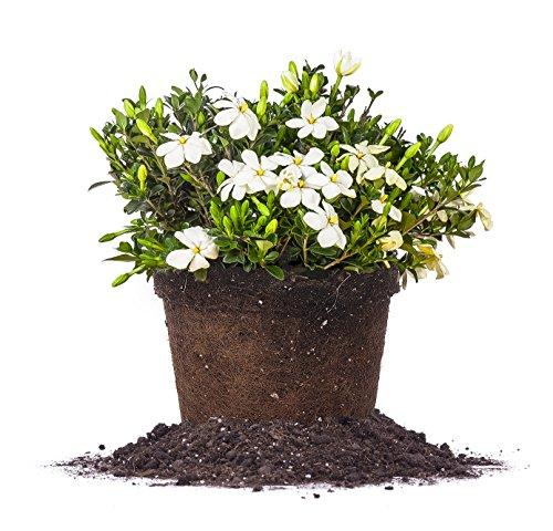 KLEIMS Hardy Gardenia - Size: 3 Gallon, Live Plant, Includes Special Blend Fertilizer & Planting Guide