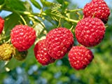 3 Heritage Raspberry Potted Plants - Ever Bearing - Dark Red Berries