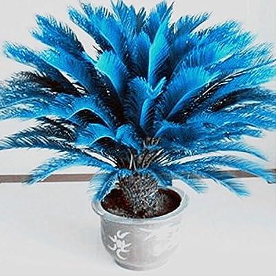 RARE!! 100pcs Blue Cycas Seeds , Sago Palm Tree Beeds Bonsai Blower Seeds