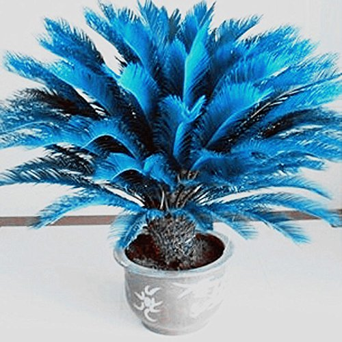 RARE!! 100pcs Blue Cycas Seeds , Sago Palm Tree Beeds Bonsai Blower Seeds
