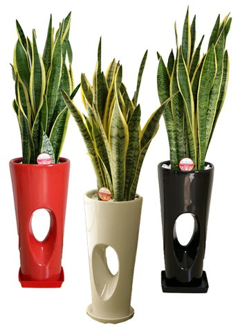 緑俱良部 【観葉植物】サンスベリア 7号穴高陶器鉢(白) B0765MCK2D