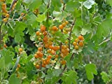 1 Ribes Aureum Golden Currant Live Rooted Starter Plant Edible Shrub Zones 3-8 Live Plant #PLC