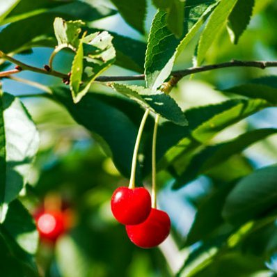 Lapins Cherry Tree - 5-6 Feet Tall in 3 Gallon Pots by Brighter Blooms (Image #2)