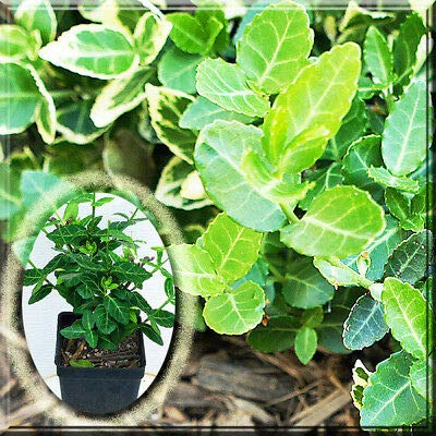 "1 Euonymus Fortunei f. Emerald Gaiety Wintercreeper Shrub 2.5"" Pot Plant : Garden & Outdoor"