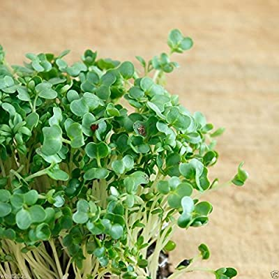 3000 CURLED CRESS SEEDS (Barbarea vernapraecox) Grow in or outdoor, year round