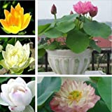lily pad plant - Rare 10pcs Lotus Nymphaea Asian Water Lily Pad Flower Pond Seeds potted flowers