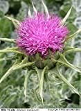 100 MILK THISTLE Silybum Marianum Flower Seeds