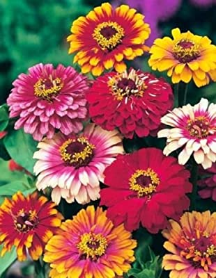 Flower Seeds - 75 Seeds of Zinnia Seeds Carrousel Mix Heirloom Mixed Zinnia Seed Heirloom Flower