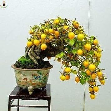 AGROBITS Semillas: 10pcs / Bag Plantas EDI Fruta limón Meyer exóticas Plantas Bonsai árbol de limón Fresco para la decoración de jardín de casa: Luz Verde: Amazon.es: Juguetes y juegos