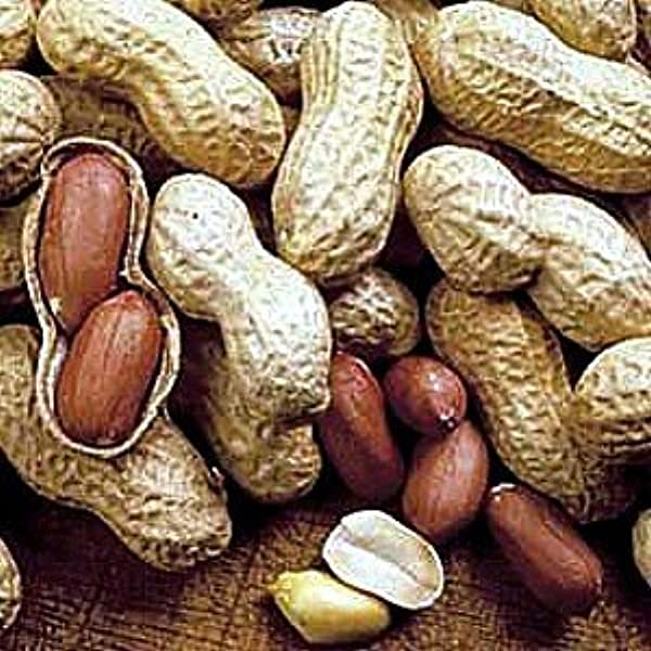 Fun Virginia Peanut 30 Seeds Start Indoors in Pots