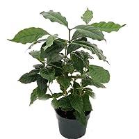 Hirt's Arabica Coffee Bean Plant - 6