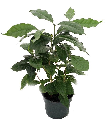 - Hirt's Arabica Coffee Bean Plant - 6