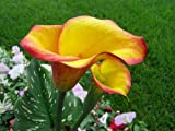 Flame Calla Lily Bulb - Opens Yellow Matures to Flame
