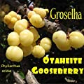 ~GROSELHA~ TAHITIAN GOOSEBERRY Phyllanthus acidus RARE FRUIT TREE 10 RARE SEEDS
