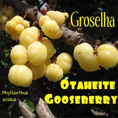 ~GROSELHA~ TAHITIAN GOOSEBERRY Phyllanthus acidus RARE FRUIT TREE 10 RARE SEEDS