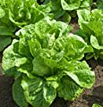 David's Garden Seeds Lettuce Ridgeline D2536 (Green) 500 Organic Seeds