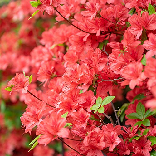 Cottage Hill Azalea 'Flame Creeper' - 2 Piece Live Plant, Red Blooms