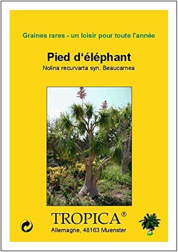 TROPICA Pied d/'/él/éphant - 10 graines- Bonsai Nolina recurvarta syn. Beaucarnea