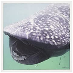 "Whale Shark (Rhincodon typus) - showing its many rows of tiny teeth. Holbox Island, Mexico Greeting Card is a great way to say ""thank you"" or to acknowledge any occasion. These blank cards are made of heavy-duty card stock that allows for smu..."