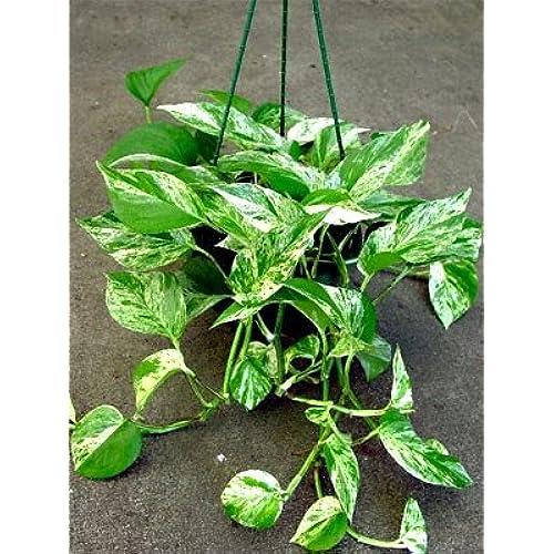 Indoor Vine Plants