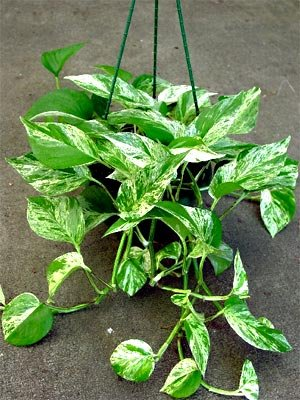 15 Seeds Scindapus Indoor Hanging Plant Air Purification -