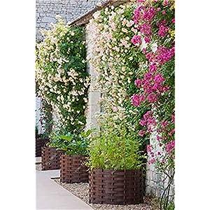 3: 100 pezzi Semi di fiori di gelsomino rampicante esotici Semi di gelsomino colorati Pianta profumata Semi di gelsomino… 51p5JzZO3 L. SS300