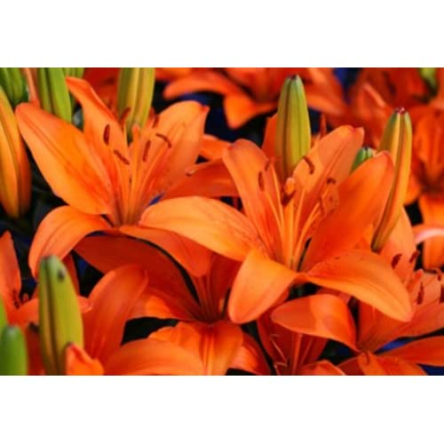 """Matrix Orange"" Asiatic Lily - 2 Bulbs - STRIKING Orange Flowers!"