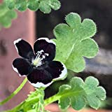 HOT - Pennie Black - 300 Seeds - Nemophila Discoidalis - Balcony Flower - Baby Black