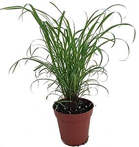 Amazon Com Citronella Grass Plant ഇഞ്ചിപ്പുല്ല് Cymbopogon Repels Mosquitos 4 Quot Pot