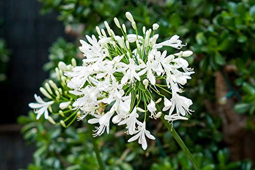 Florida Foliage Agapanthus Getty White Qty 60 Live Plants Groundcover Grass