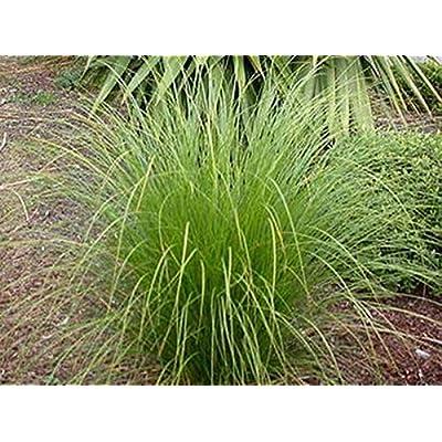 Ornamental Grass Seed - Carex Secta Seeds : Garden & Outdoor