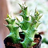 Succulents Seeds 100Pcs Rare Multi Succulent Plants Seeds Ornamental Plants Seeds Courtyard Garden with Flower Seeds for Planting (Caralluma hesperidum Succulents Seeds)