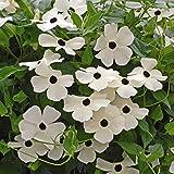 Outsidepride Thunbergia White - 100 Seeds