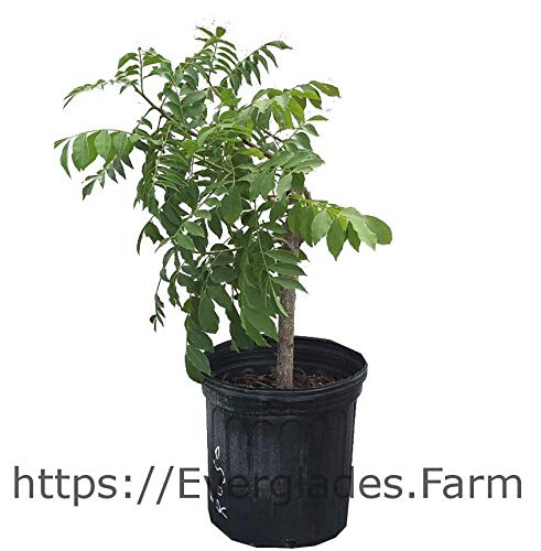 Mombin, Hog Plum, Ciruela, Jocote, Spanish Plum Tree, Red Variety, 3-Gal Container from Florida