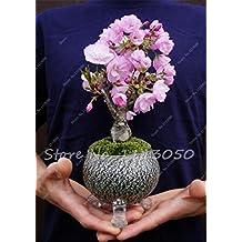 10 Pcs Mini Bonsai Tree Japanese Sakura Seeds,Bonsai Flower Cherry Blossoms Home Graden Decoration 2